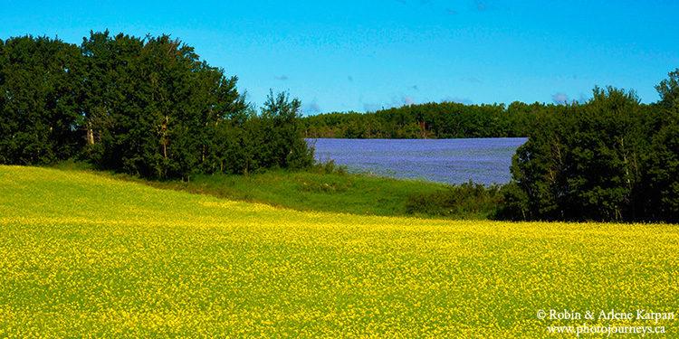 Canola and flax field, Saskatchewan