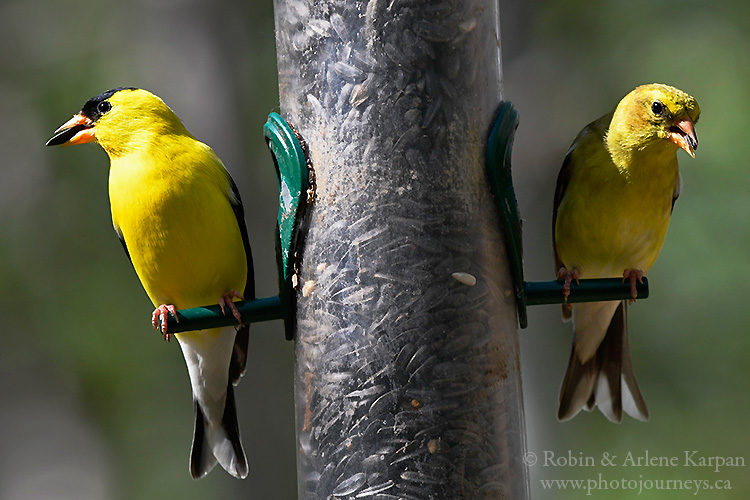 Gold finches, Fort Whyte Alive, Winnipeg, Manitoba