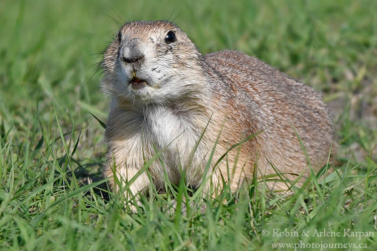 Black-tailed prairie dog, Fort Whyte Alive, Winnipeg, Manitoba