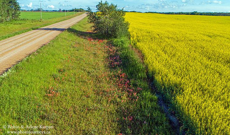 Canola field and wildflowers, Saskatchewan