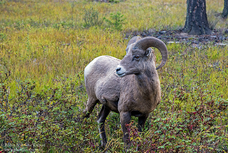 Birhorn sheep