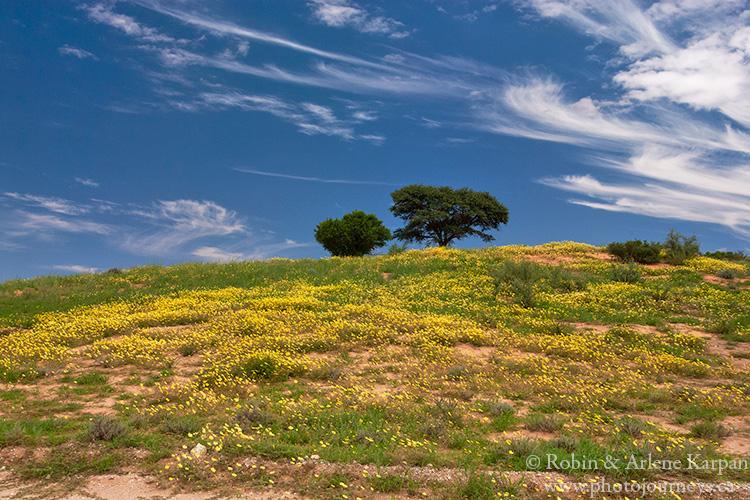 Desert in bloom, Kalahari Desert