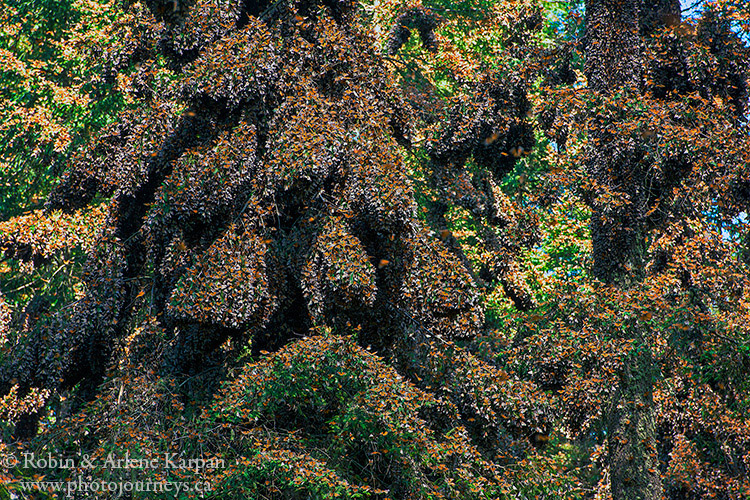 Monarch Butterflies at El Rosario Monarch Butterfly Biosphere Reserve, Mexico.