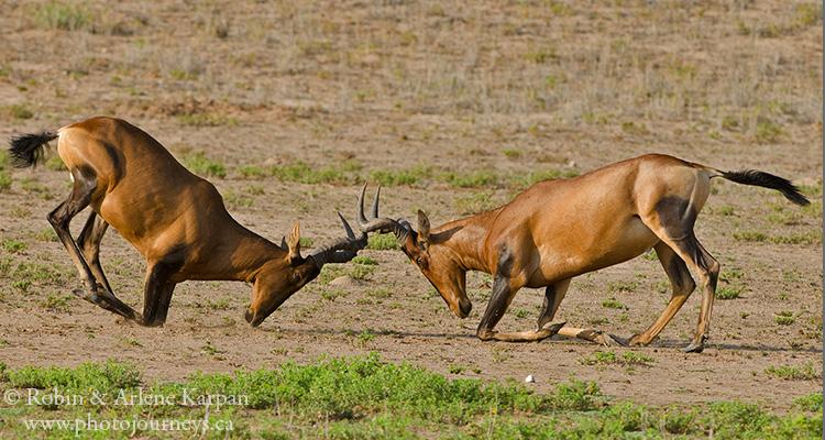 Red hartebeest, Kalahari desert