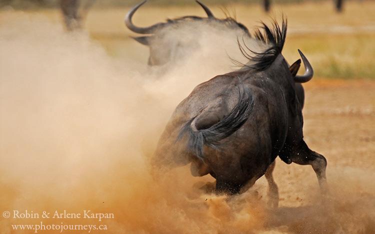 Wildebeest battle