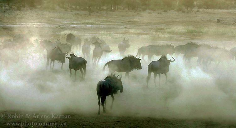 Wildebeest, Kalahari Desert