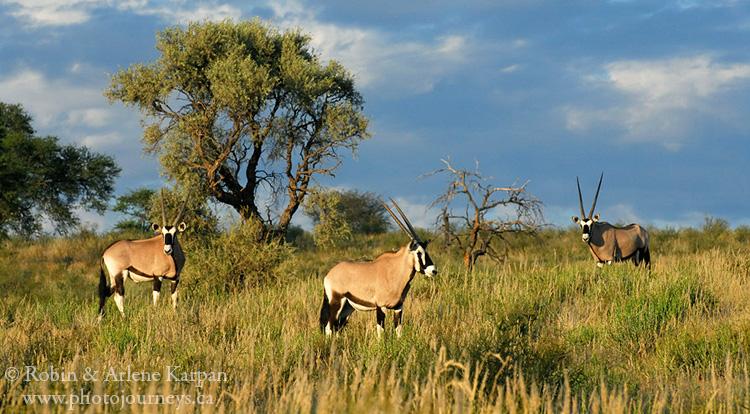 Gemsbok, or oryx.