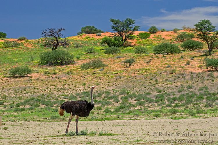 Ostrich, Kalahari Desert
