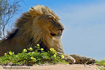 Lion, Kalahari Desert