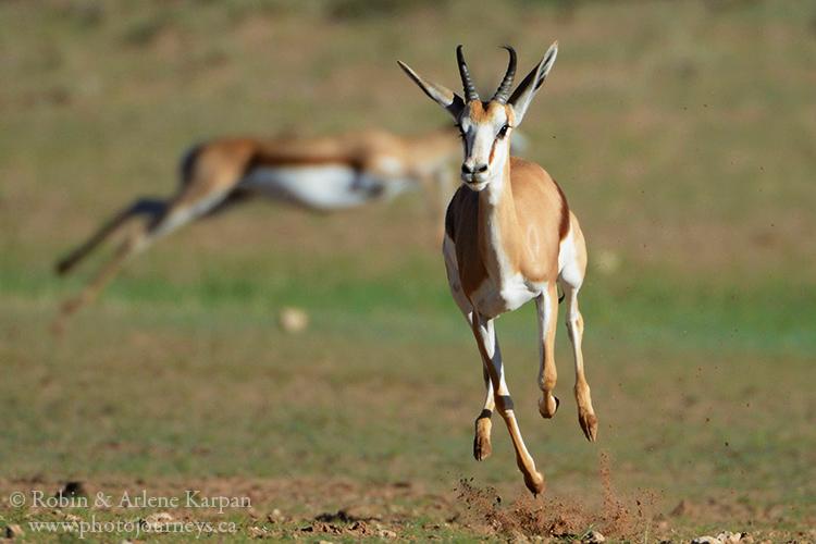 Springbok, Kalahari Desert