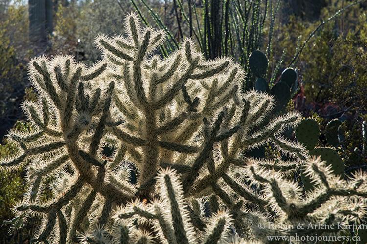 Desert Botanical Garden, Phoenix, Arizona.