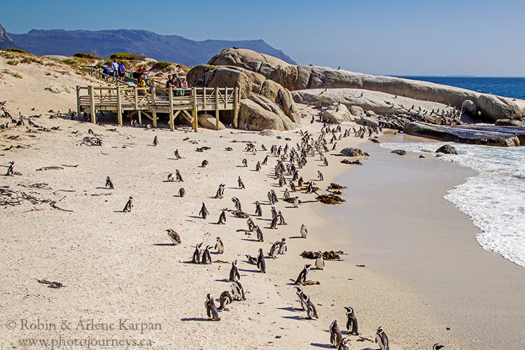 African penguins, Boulders Beach, South Africa