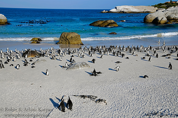 African Penguins, Boulders Beach, South Africa.