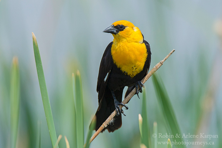 Yellow-headed blackbird, Saskatchewan
