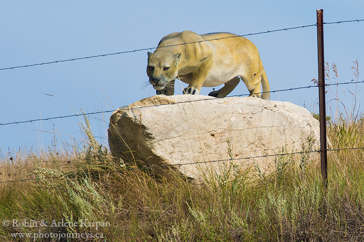 Cougar status, Souris River Valley, Saskatchewan