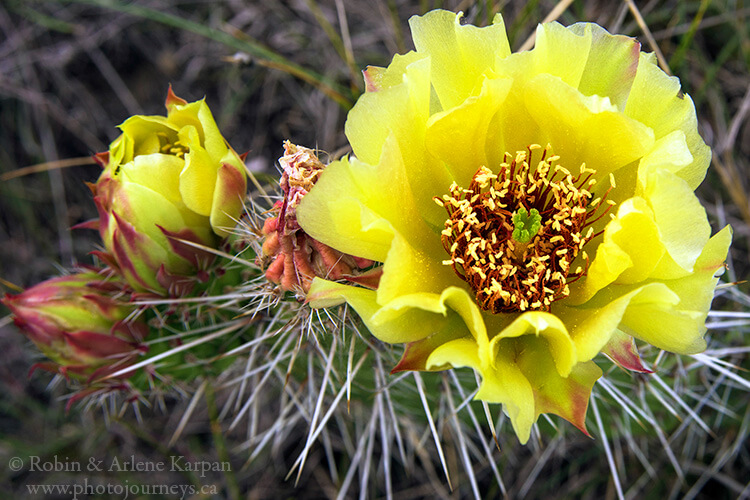 Prickly pear cactus is plentiful throughout Saskatchewan Landing Provincial Park
