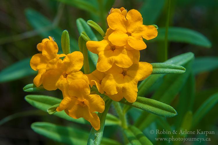 Hoary Puccoons, wildflowers, Saskatchewan
