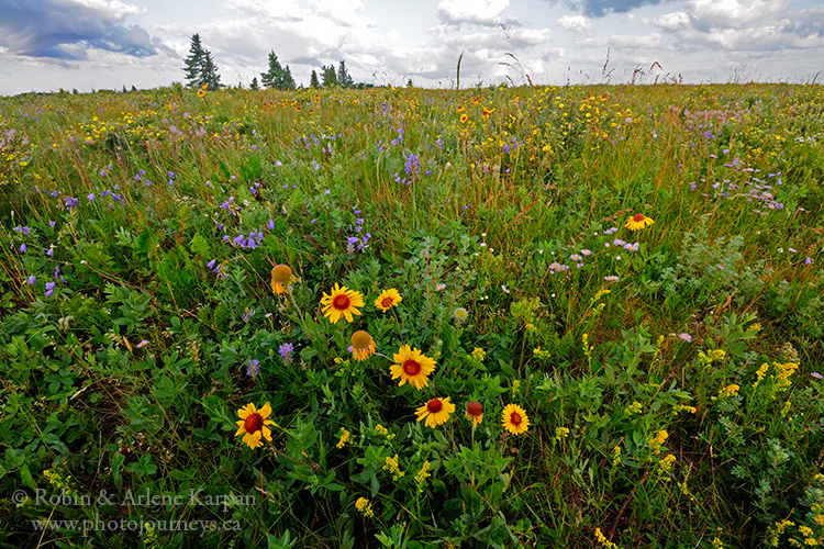 Wildflowers, Cypress Hills, Saskatchewan