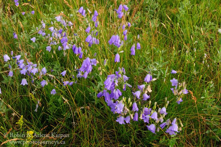 Harebells, wildflowers, Saskatchewan