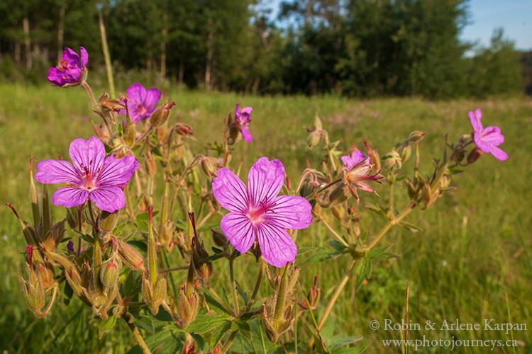 Sticky Geranium, Cypress Hills, Saskatchewan