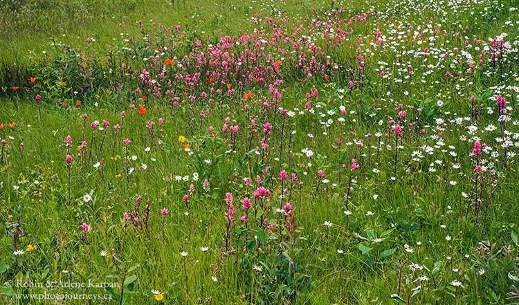 Roadside wildflowers in Prince Albert National Park, Saskatchewan