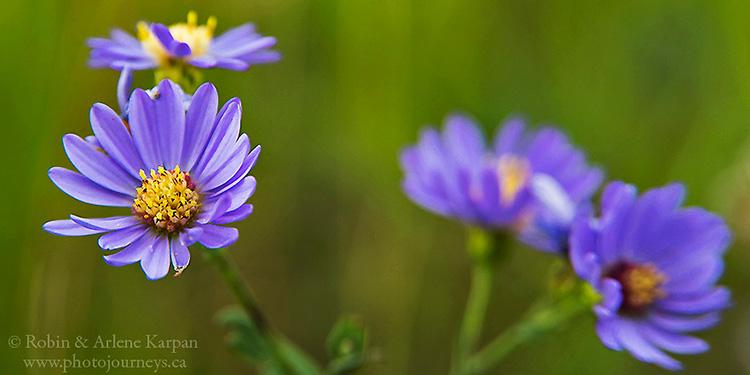 Asters, wildflowers, Saskatchewan