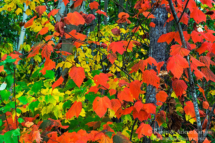 Mountain maple leaves in fall in Pasquia Hills.