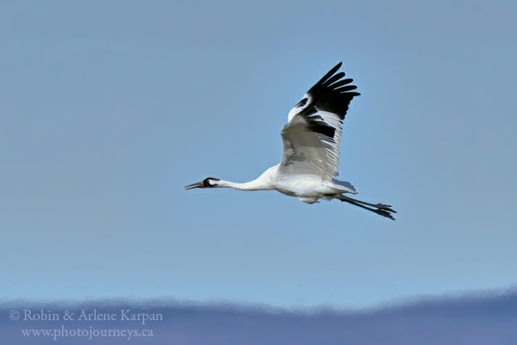Whooping Crane in flight, Saskatchewan