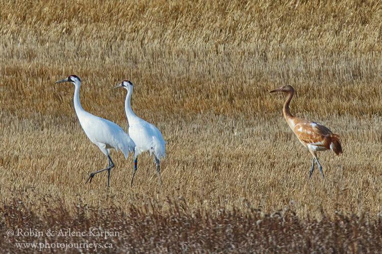 Whooping crane family, Saskatchewan