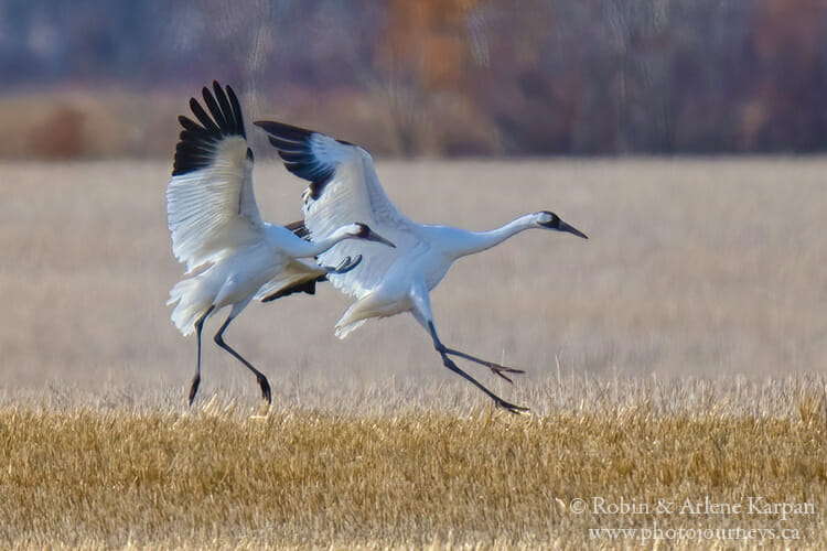 Whooping Cranes in Saskatchewan