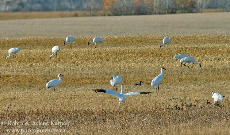 Whooping Cranes feeding in Saskatchewan