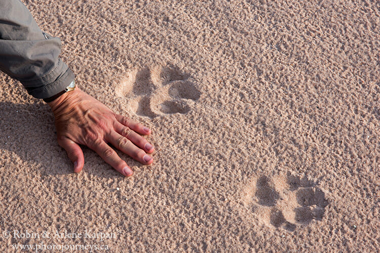 Wolf prints, Athabasca Sand Dunes, Saskatchewan