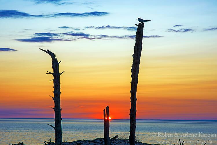 Tern, exhumed forest, Athabasca Sand Dunes, Saskatchewan