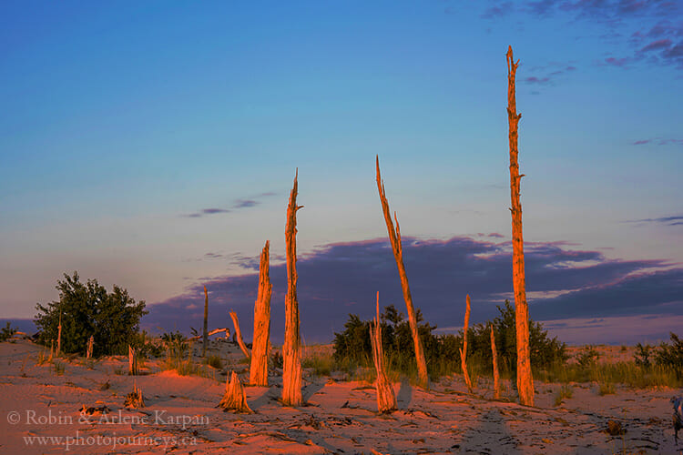 Exhumed forest, Athabasca Sand Dunes, Saskatchewan
