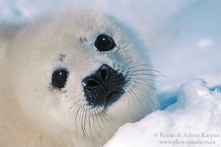 Baby harp seal, Quebec