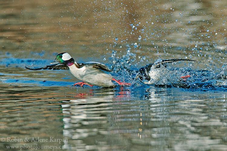 Bufflehead ducks, Saskatchewan