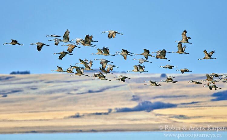 Sandhill cranes, Saskatchewan