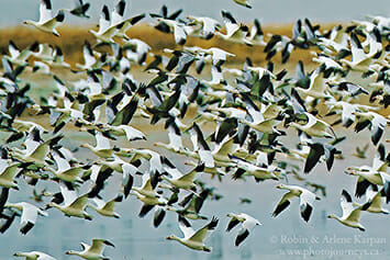 Snow geese, Saskatchewan