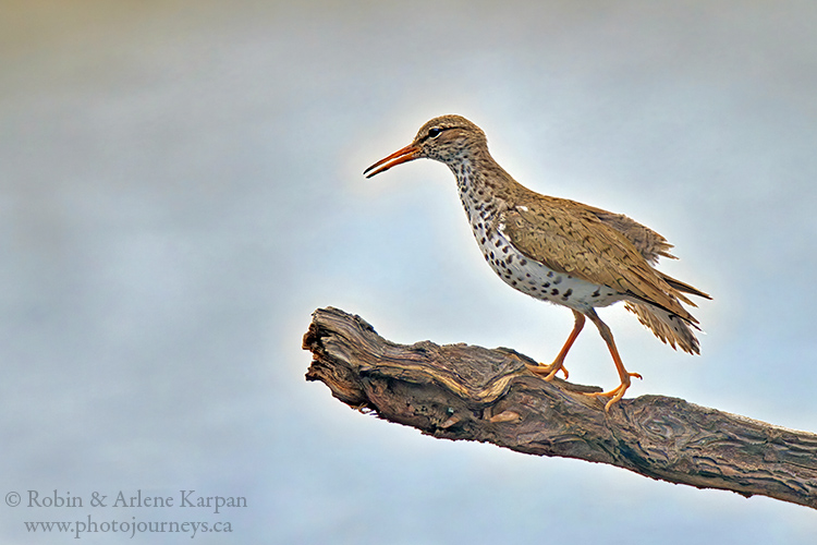 Spotted sandpiper, Thickwood Hills.