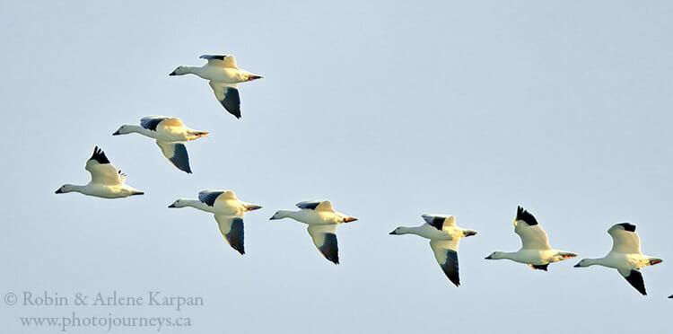 Waterfowl migration, Saskatchewan