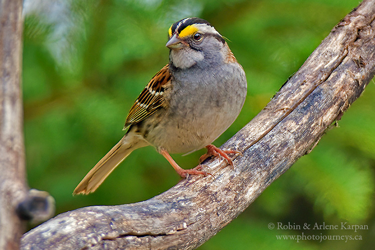 White-throated sparrow, Saskatchewan