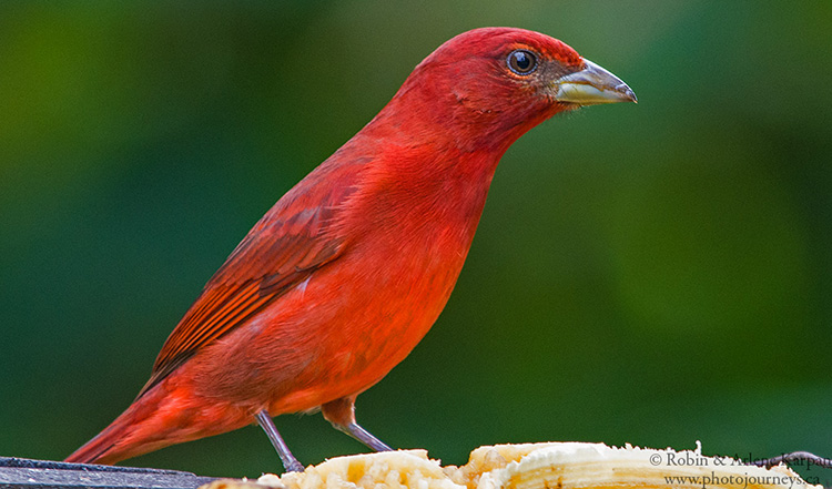 Summer tanager, Salento, Colombia