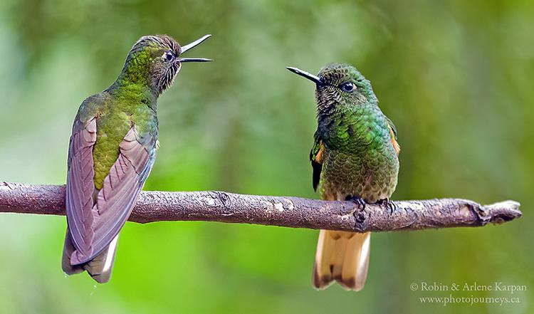 Buff-tailed coronet hummingbirds, Colombia