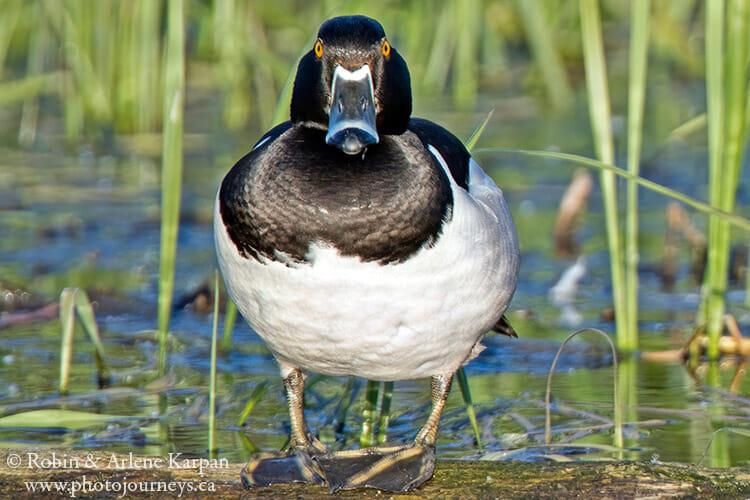 Male Ring-necked duck, Saskatchewan