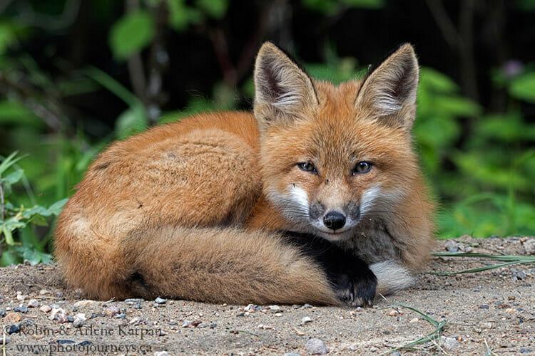 Red fox, Saskatchewan