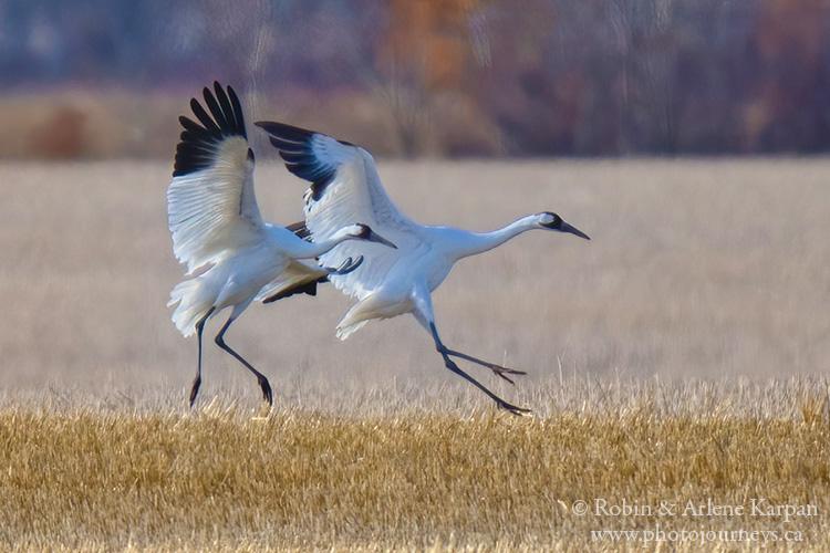 Whooping cranes, Saskatchewan