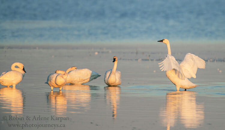 Tundra swans, Saskatchewan