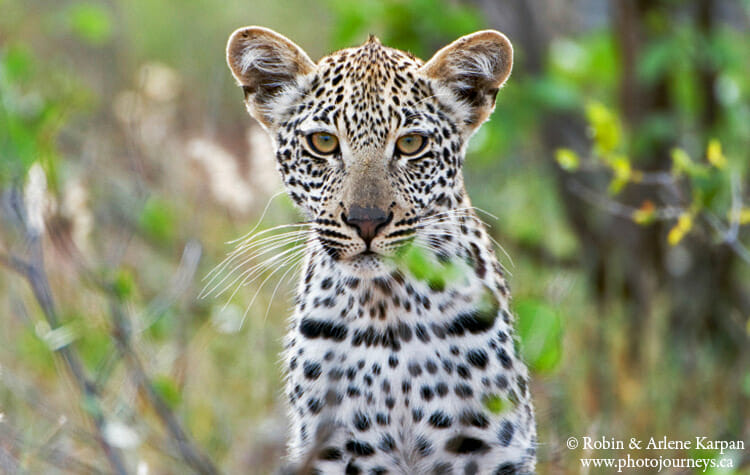 Baby leopard, South Africa