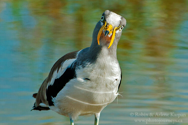 White-crowned lapwing, South Africa