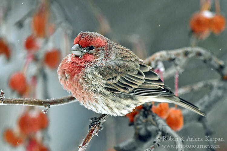 House finches, Saskatoon, in winter